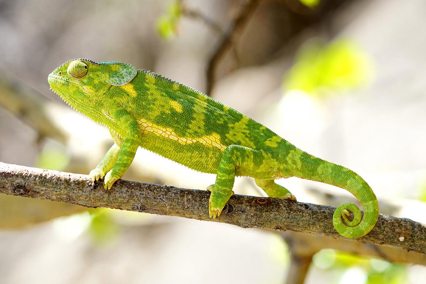 Flap-necked Chameleon in Mwiba Reserve, Tanzania