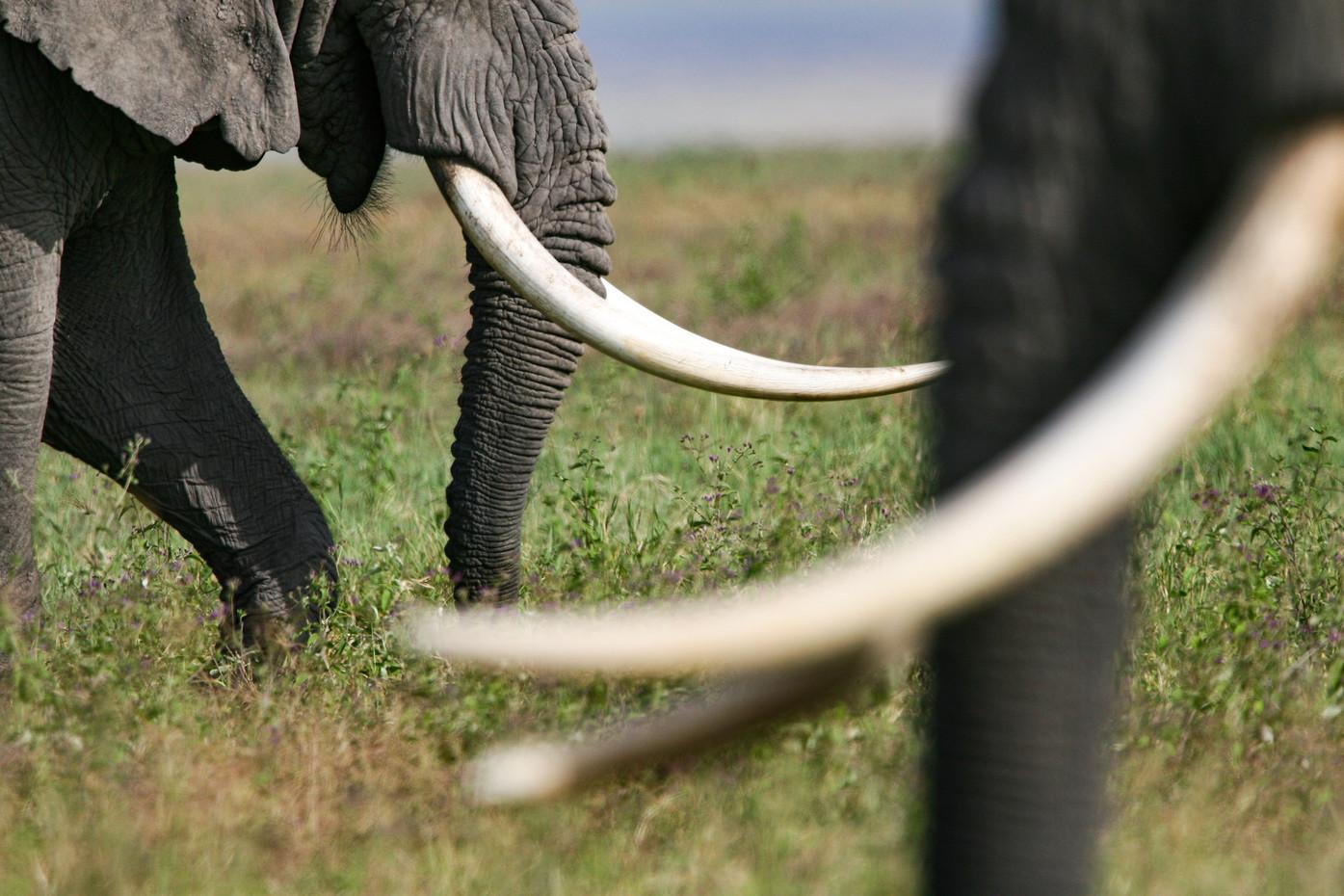 Bull elephants in the Ngorongoro Crater, Tanzania