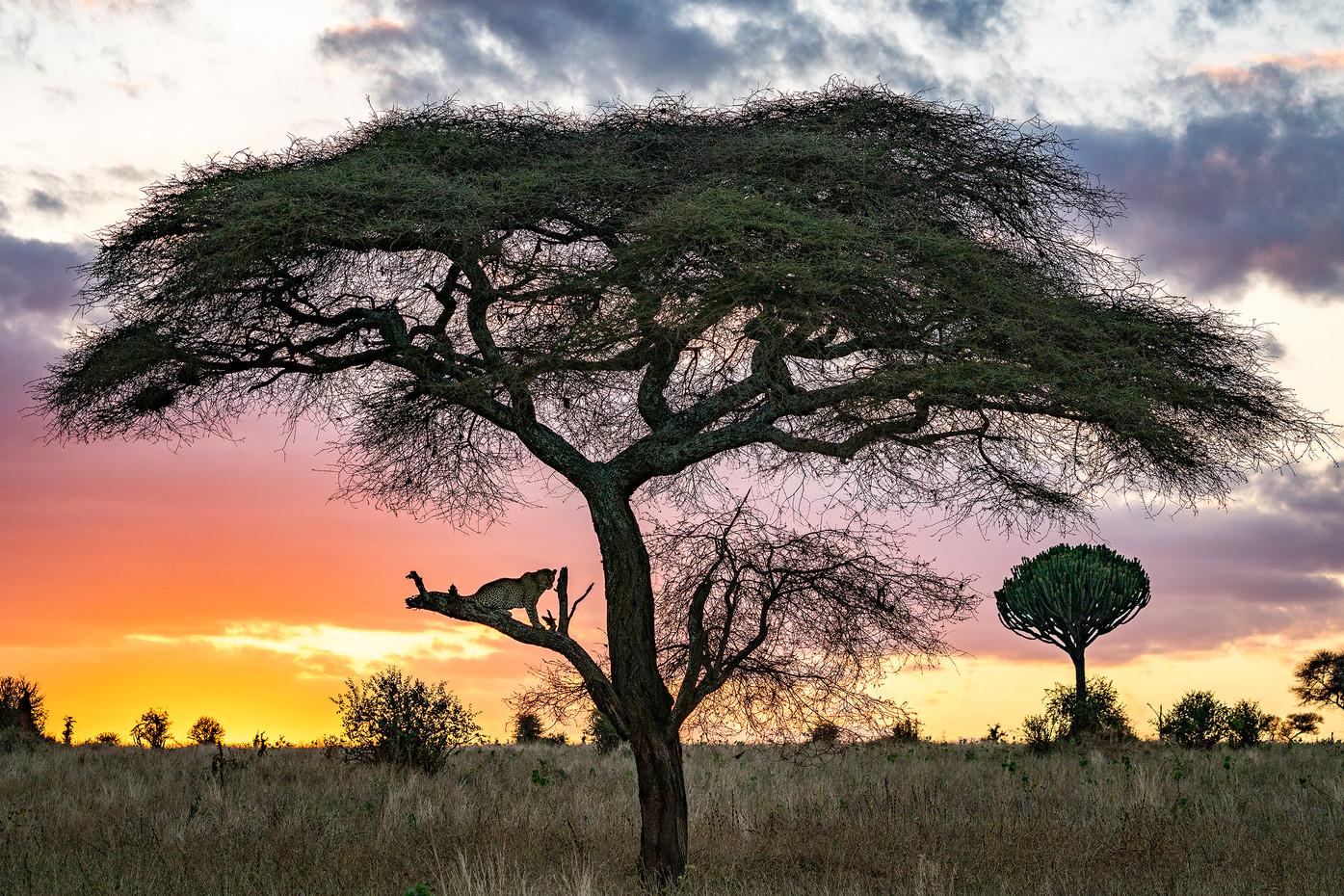 Leopard at sunset in Tarangire NP, Tanzania