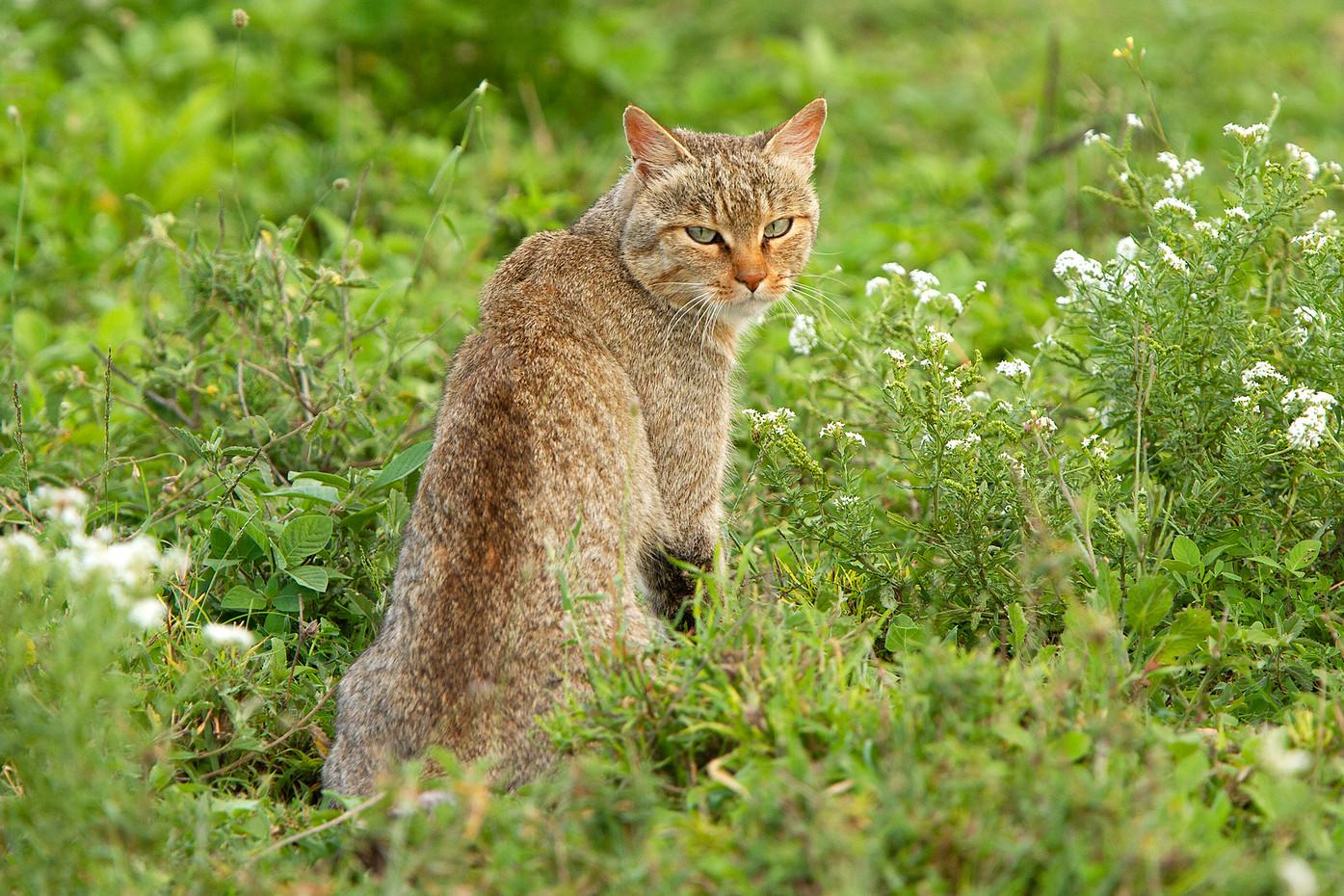 African Wild Cat in the Serengeti NP, Tanzania