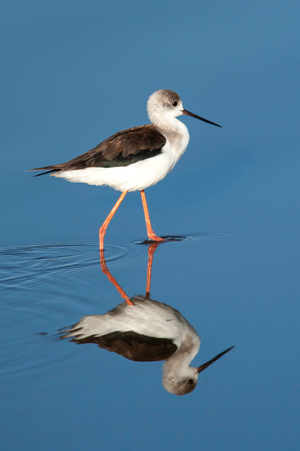 Black-winged Stilt in Lake Masek, Tanzania