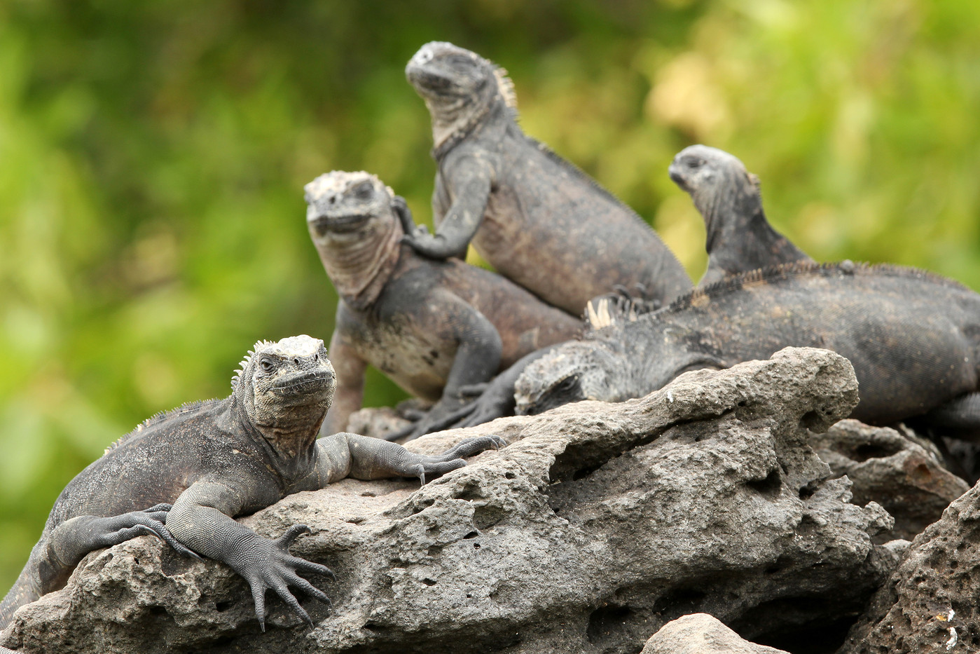 Marine Iguanas in the Galapagos Islands, Equador