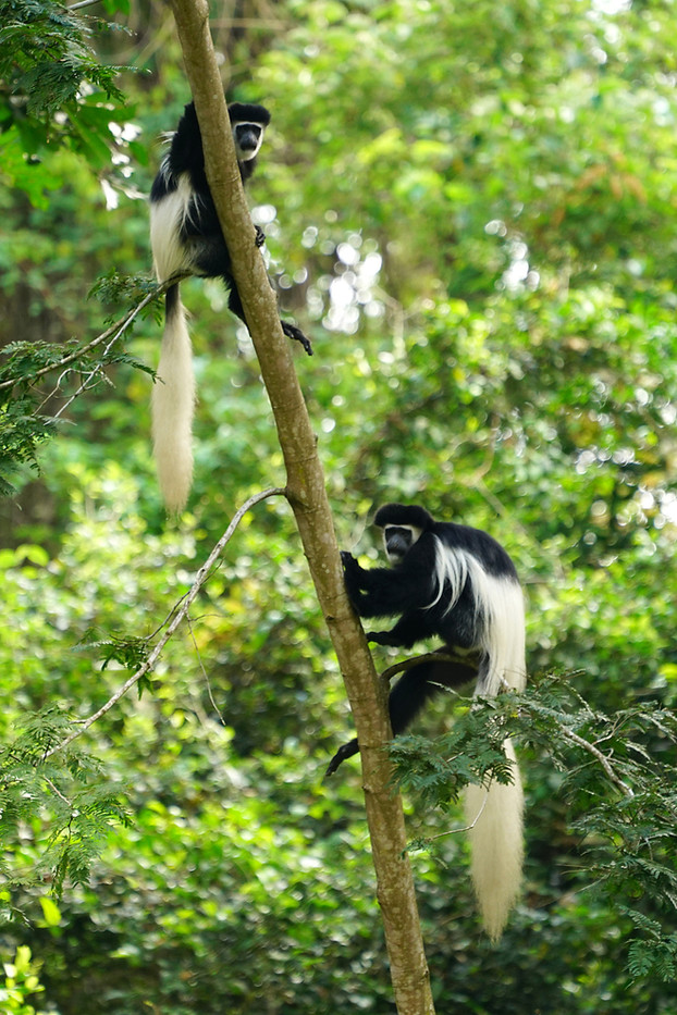 Black & White Colobus Monkeys in Arusha, Tanzania