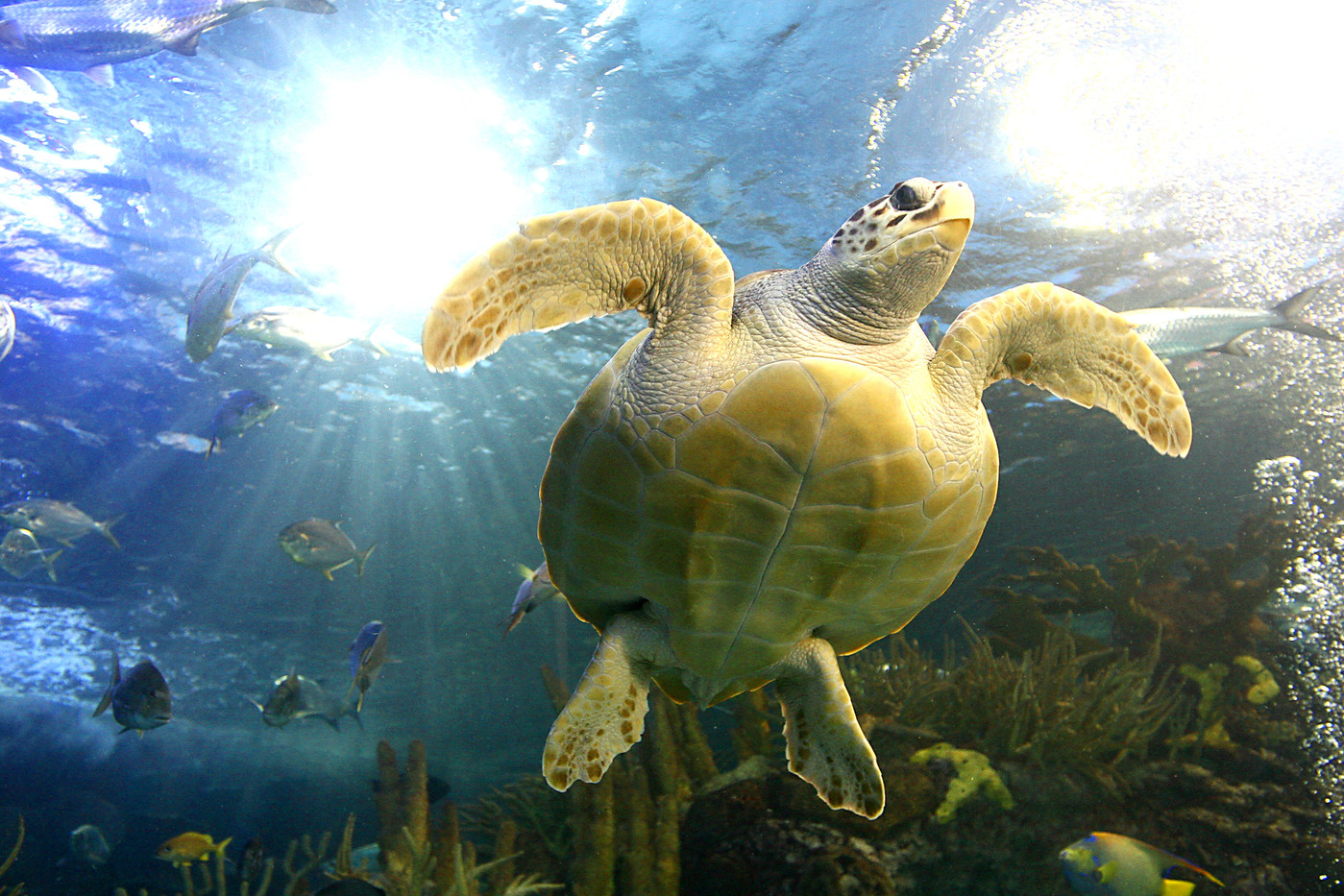 Green Turtle in an aquarium in New Orleans, USA
