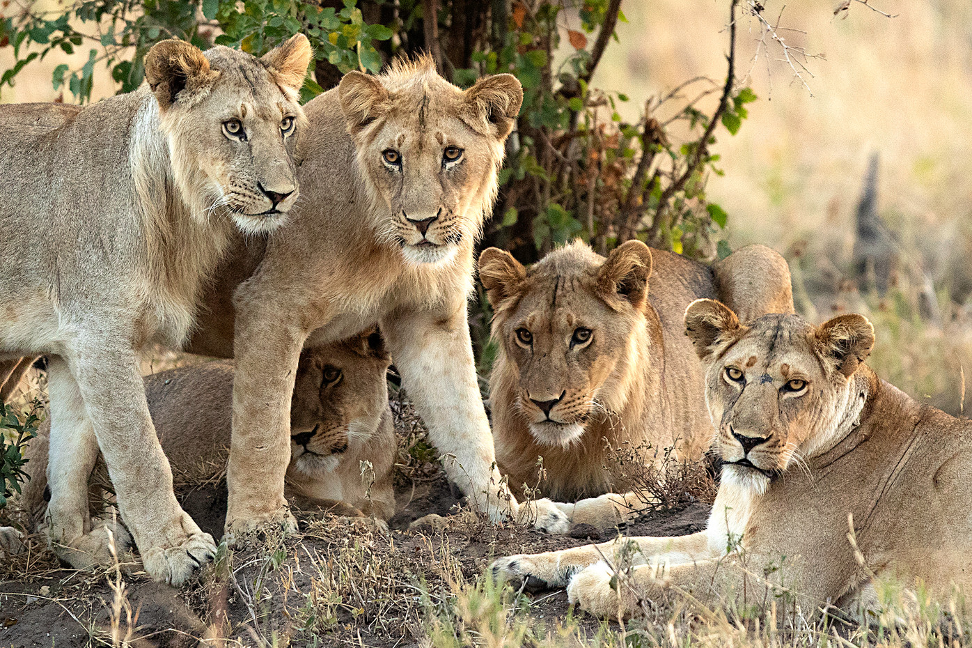 Lions in the Serengeti NP, Tanzania
