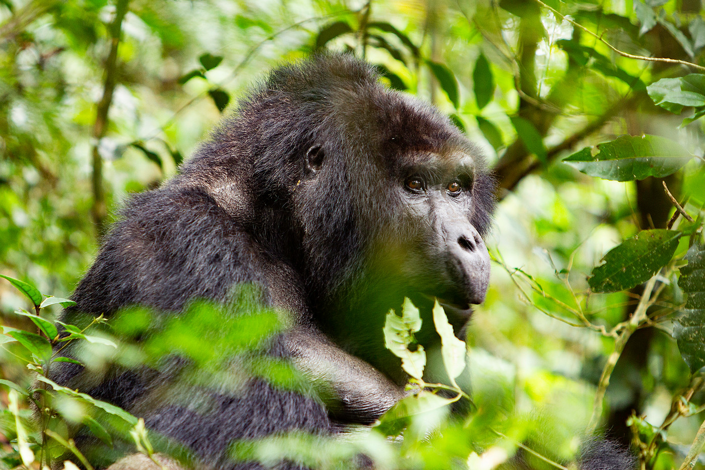 Female Mountain Gorilla in the Bwindi Imenitrable Forest, Uganda
