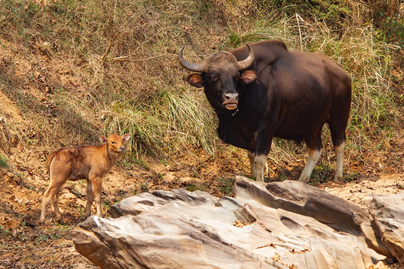 Gaur bull & calf in Kanha NP, India