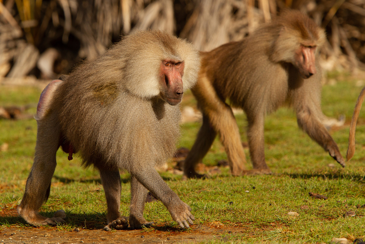 Hamadrayas Baboons in Awash NP, Ethiopia