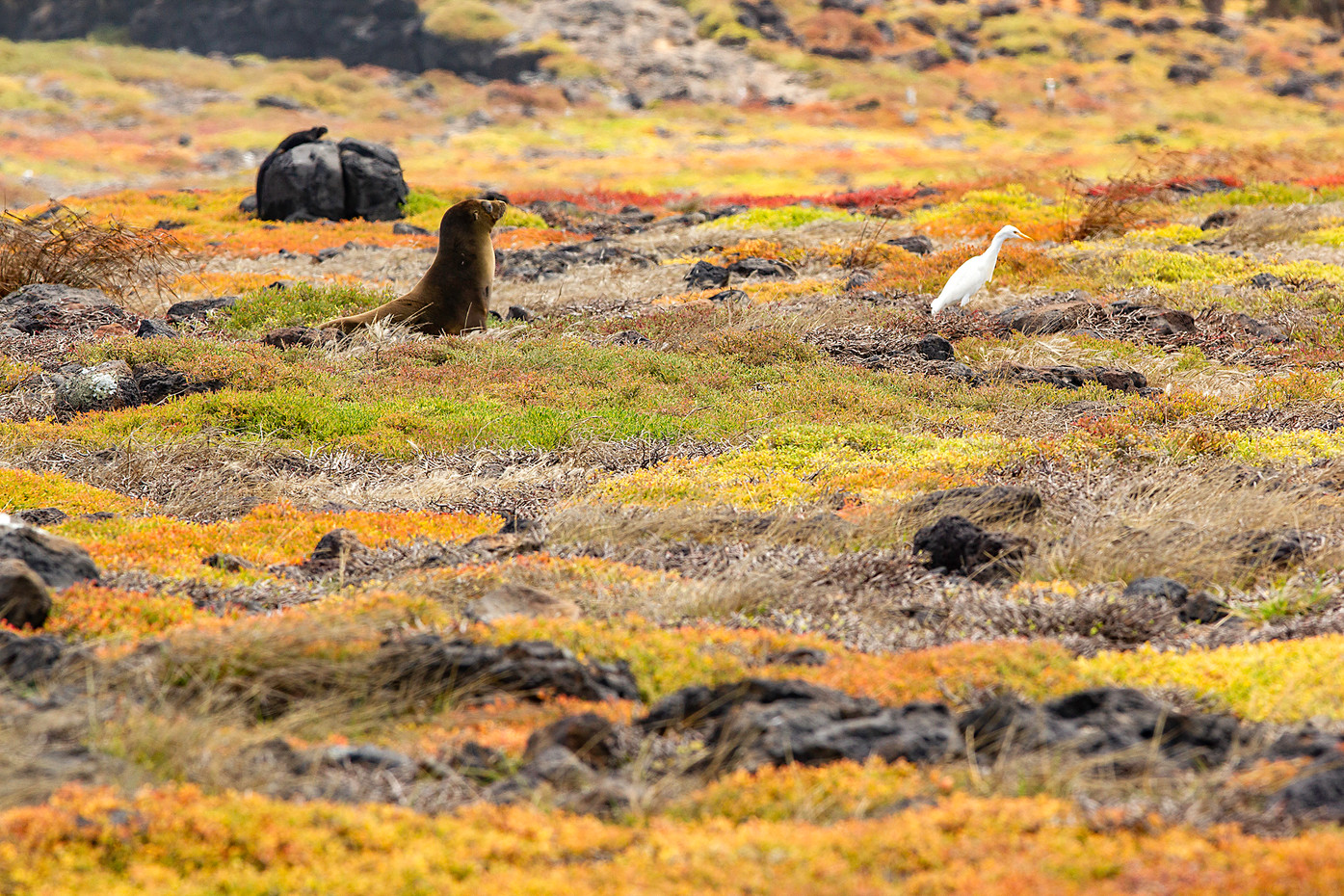 Marine Iguana, sea lion & egret in the Galapagos, Equador