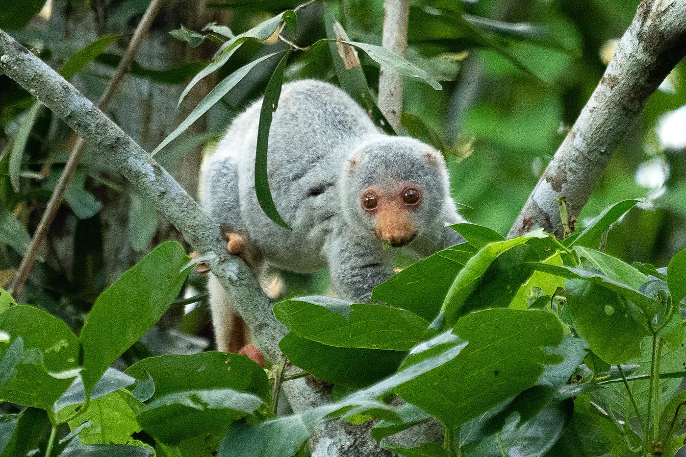 Spotted Cuscus in Bamaga, Australia