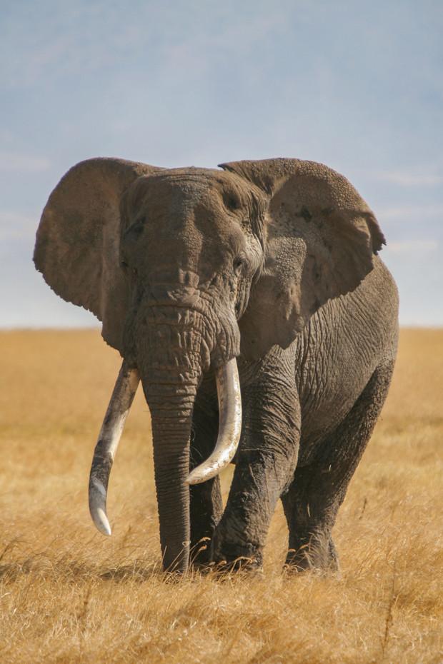 Bull elephant in the Ngorongoro Crater, Tanzania