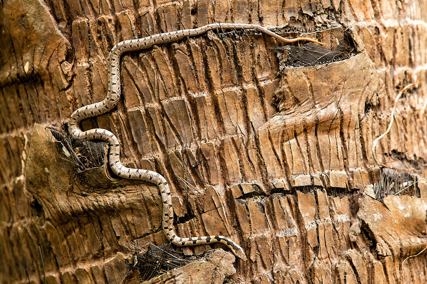 Bark Snake in Pangani, Tanzania