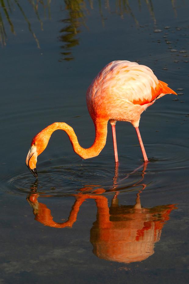 Carribean Flamingo in the Galapagos, Equador