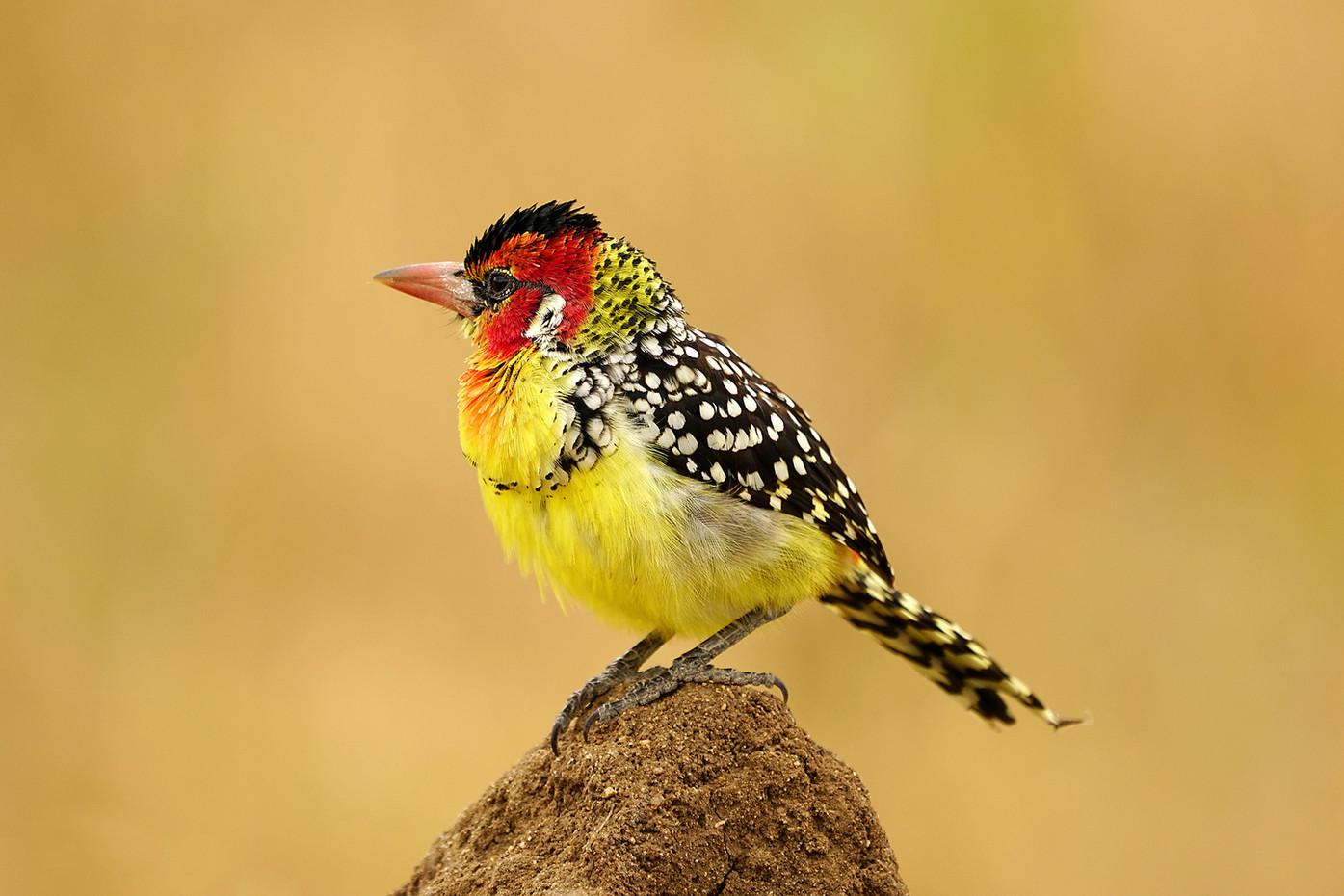 Red & Yellow Barbet in Tarangire NP, Tanzania