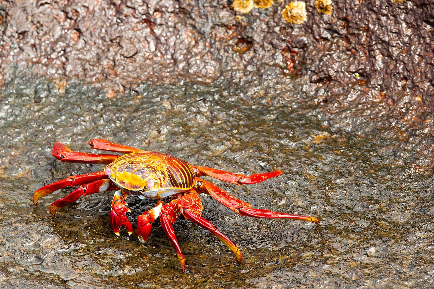 Sally Lightfoot Crab in the Galapagos Islands, Equador