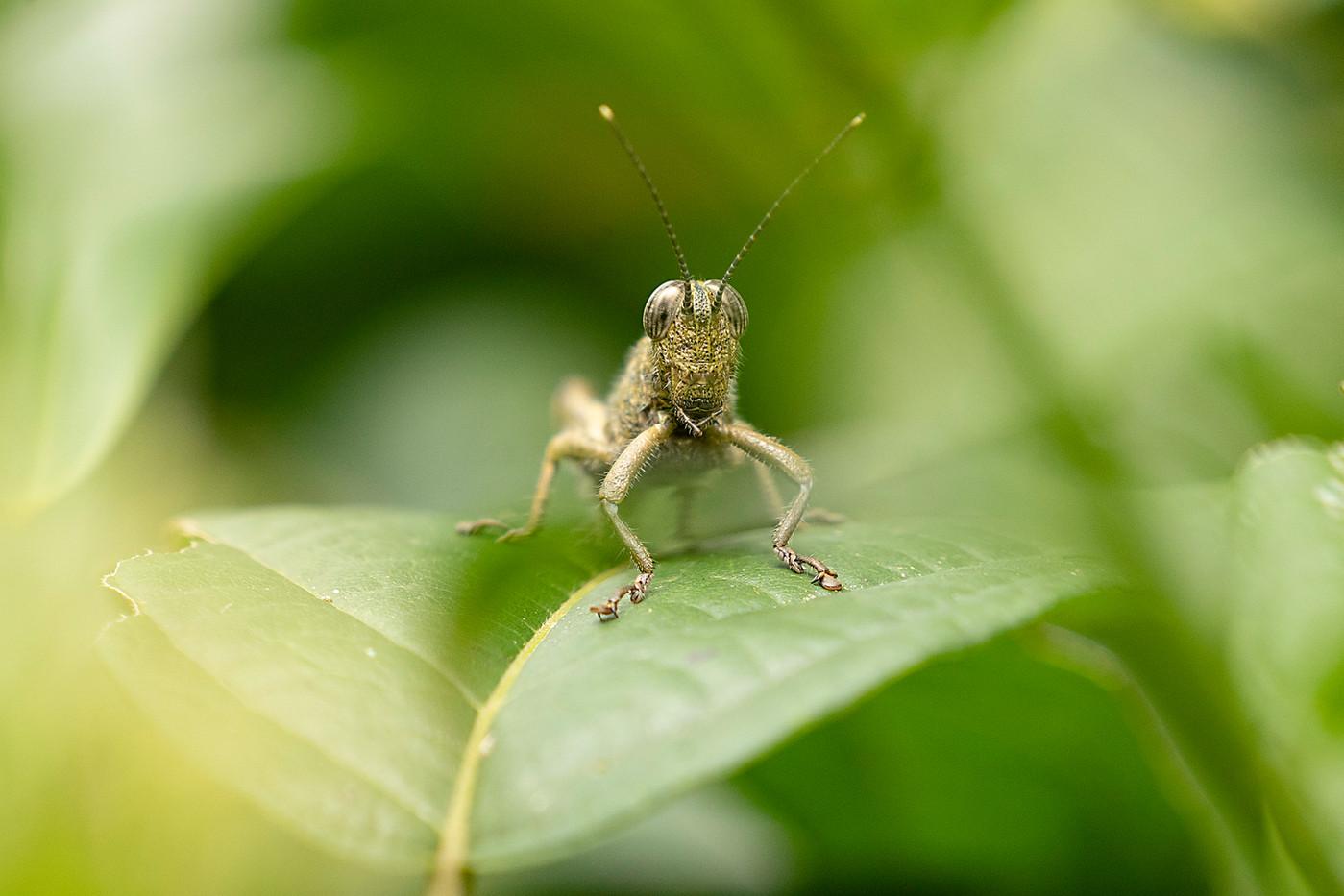 Grasshopper in Arusha, Tanzania