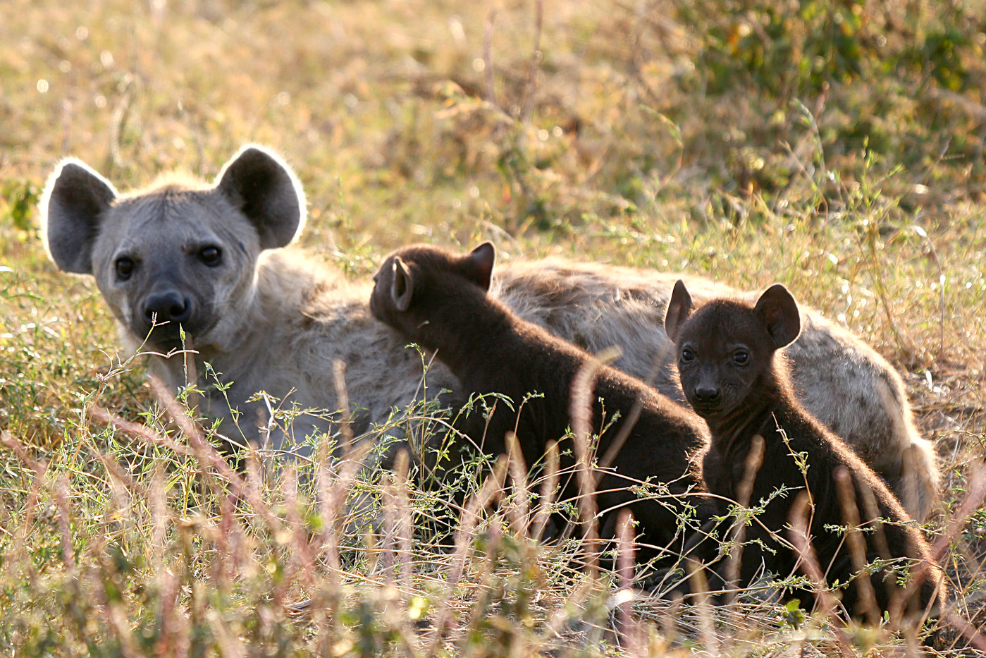 Hyena & pups in the Serengeti NP, Tanzania
