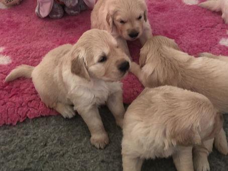 Sassa & Elliot's puppies are 3,5 weeks old 😍