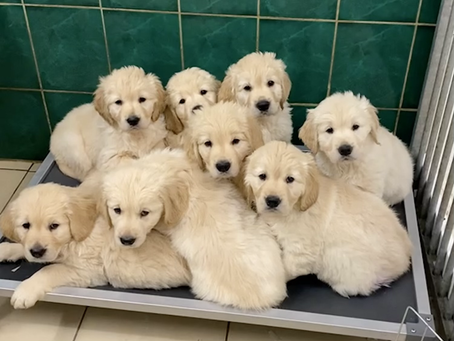 How many puppies can you fit on a bed 🥰