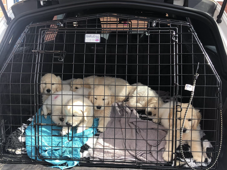 7 of Ruby's babies at the vets for their vet check & chip.