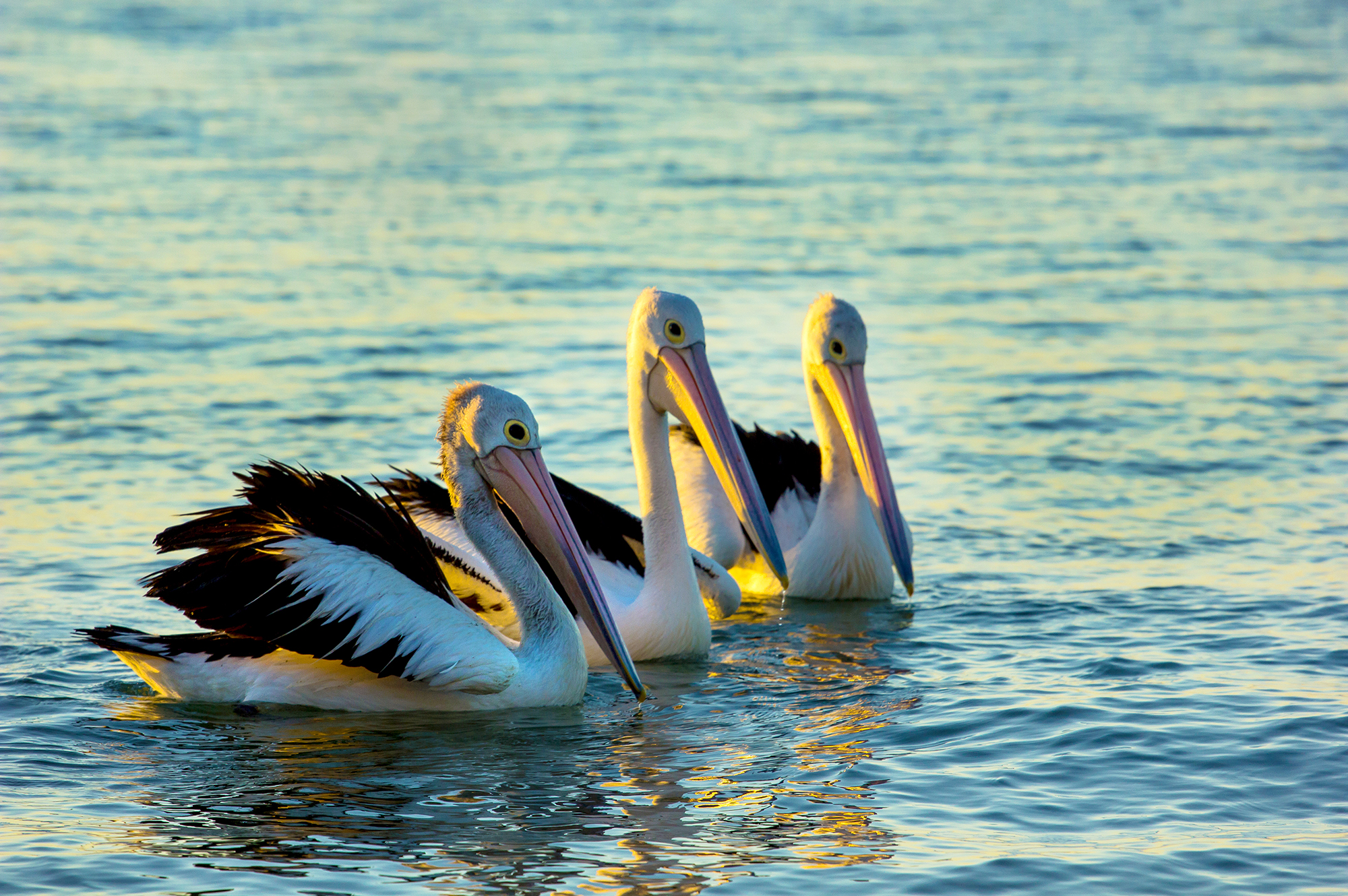 Pelicans - Three's a Crowd