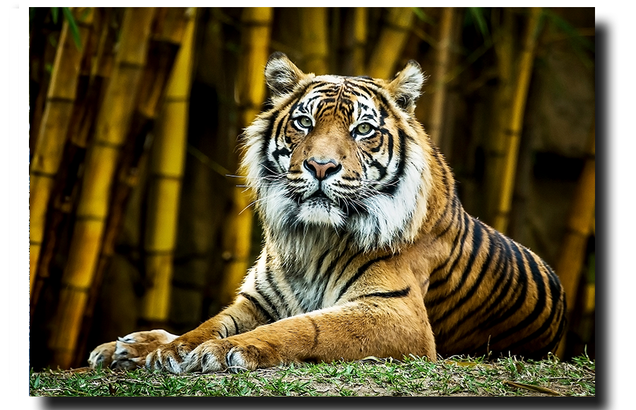 Sumatran Tiger Looking at you.