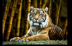 Sumatran Tiger Looking at you.