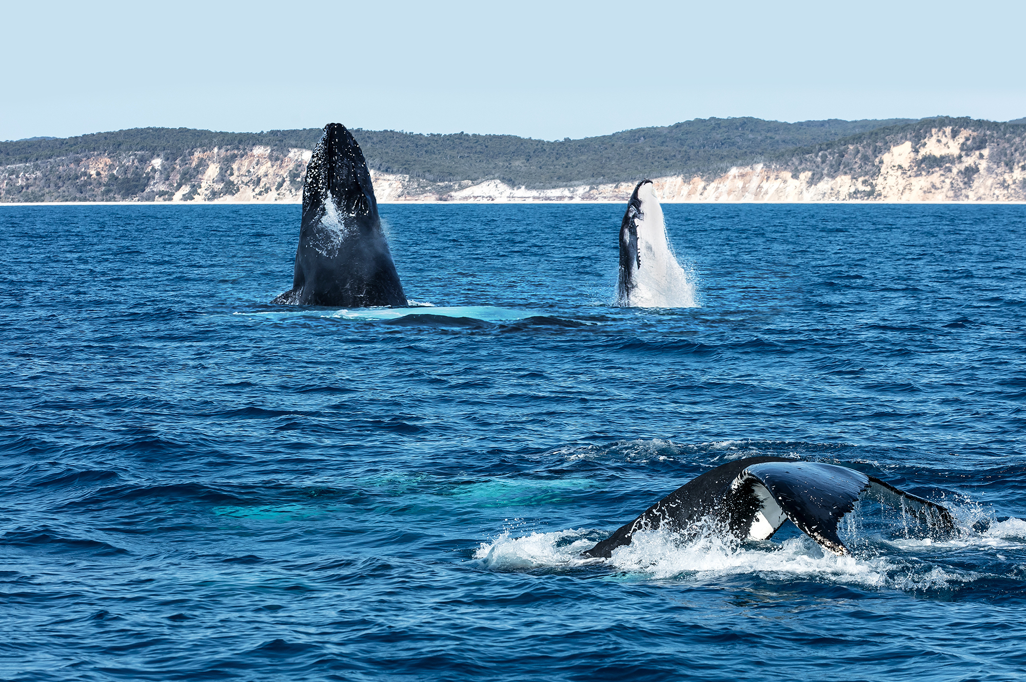 Humpbacks Rendezvous (1)