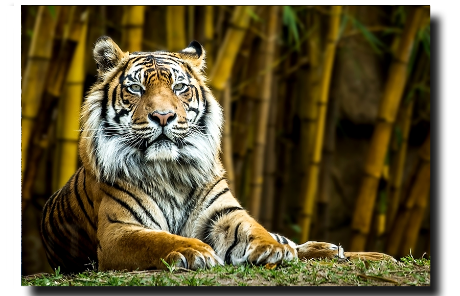 Sumatran Tiger Looking at you