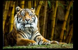 Sumatran Tiger Looking at you