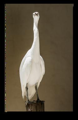 Heron (Reef Egrets)