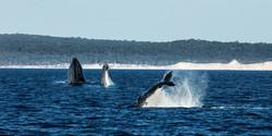 Humpbacks Rendezvous (2)