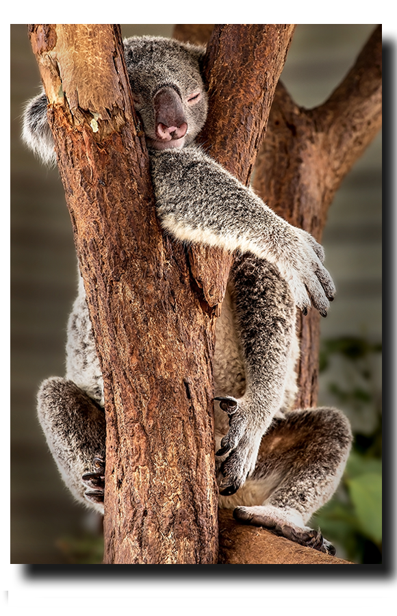 Koala I'm fine sleeping this way