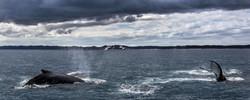 Humpbacks' Rendezvous