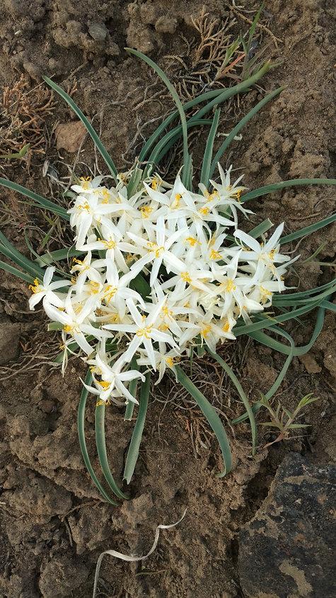 sand lillies 2.jpg