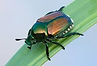Japanese beetle.png