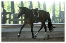Cali starting under saddle