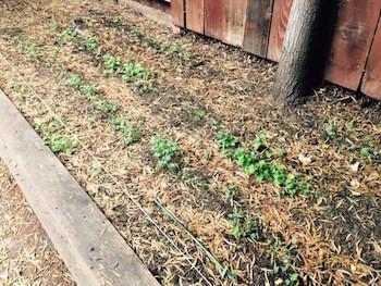 Greens growing.jpg