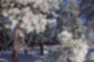 jessica's benet pines 2.JPG