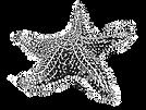 starfish sketch 2.png