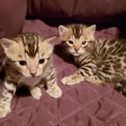 #bengalkittens #kittens #bengals