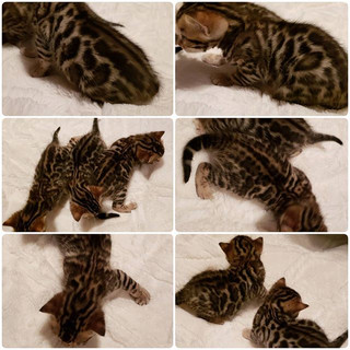 #bengalkittens #bengalcats #kittens #ben
