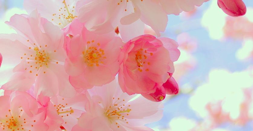 EFT Fleurs-Printemps de proche doux rose