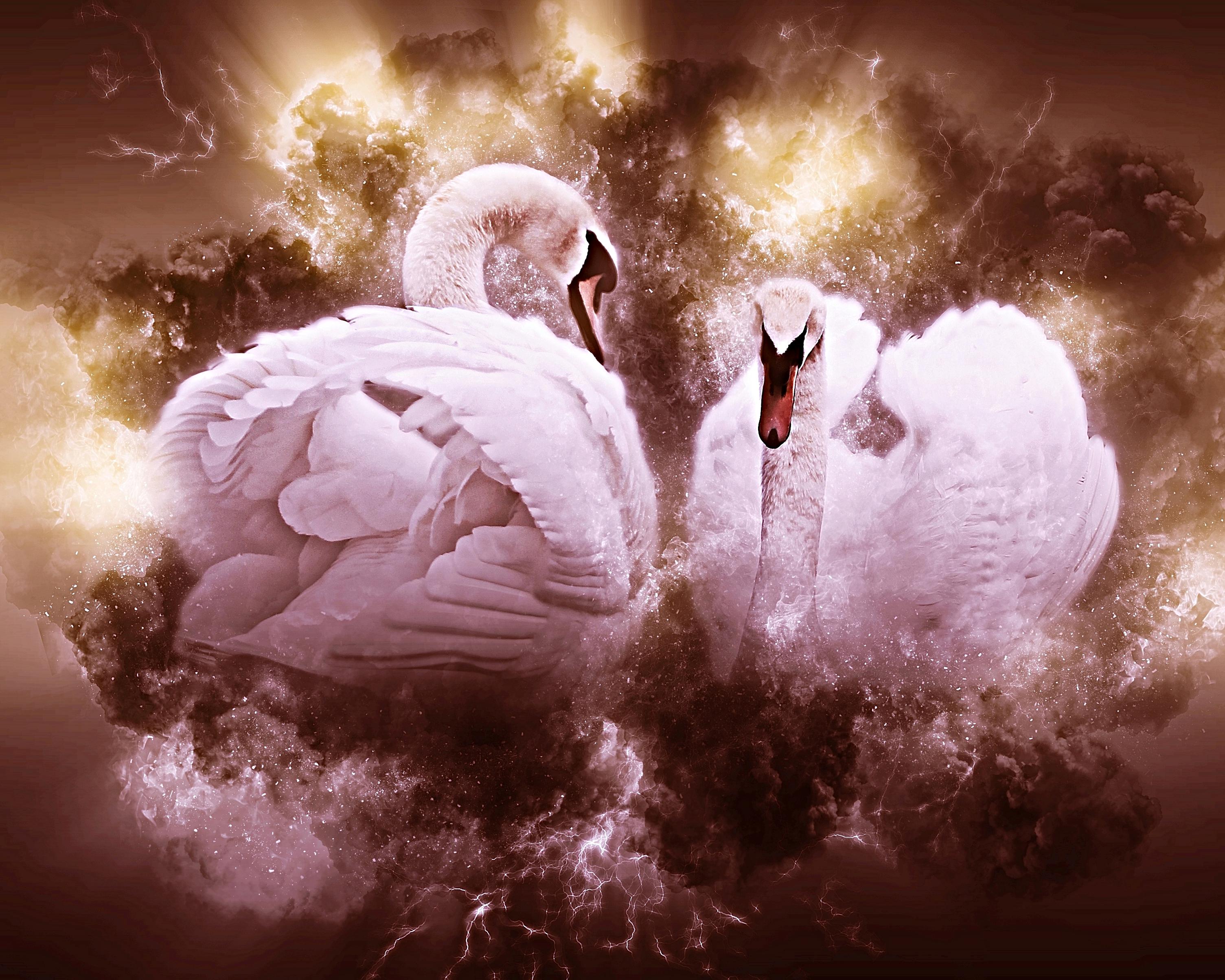 Swans In Love Design