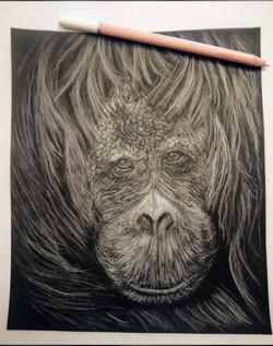 Orangutan White Pencil Drawing