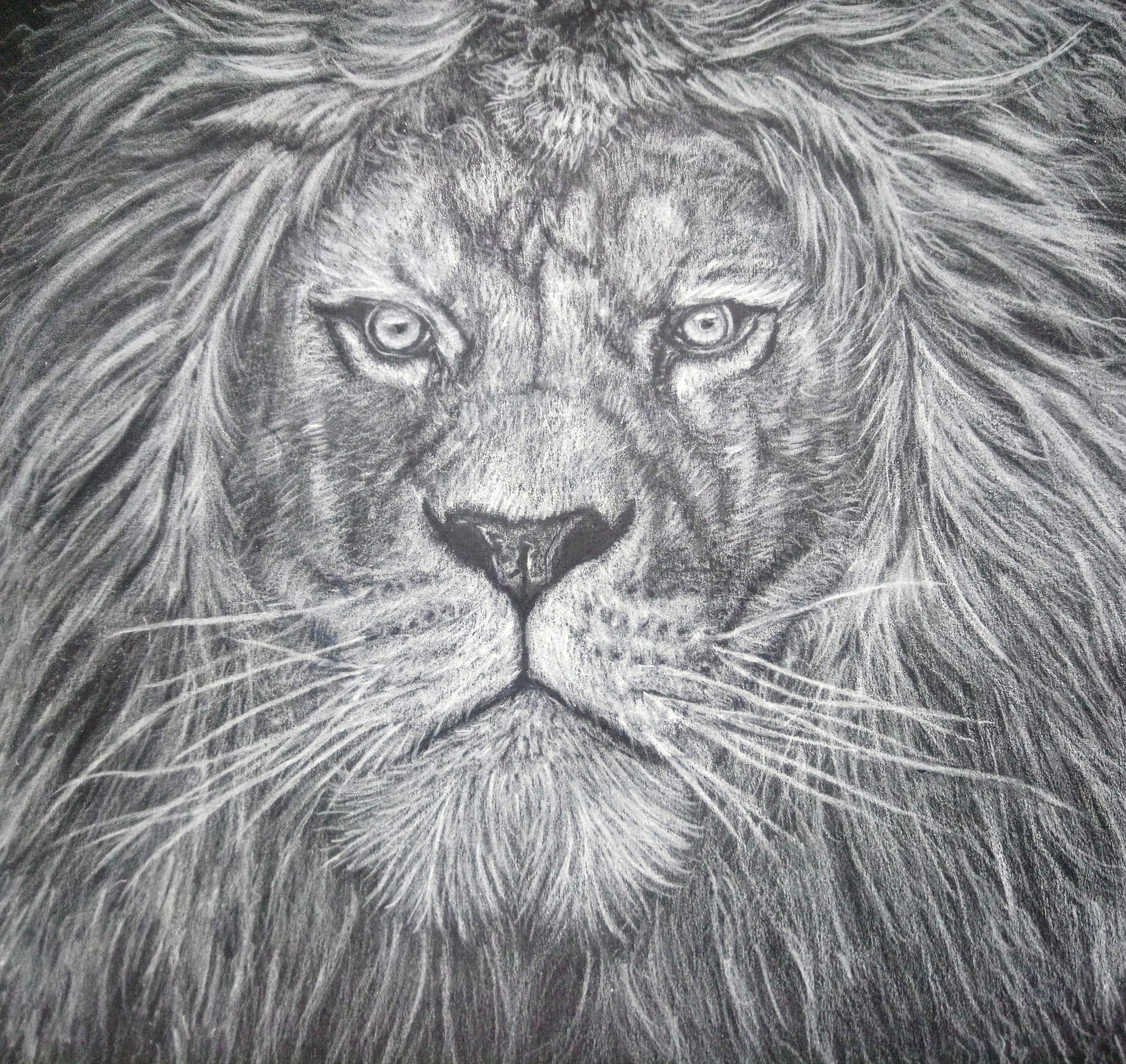 Lion White Colouring Pencil Drawing