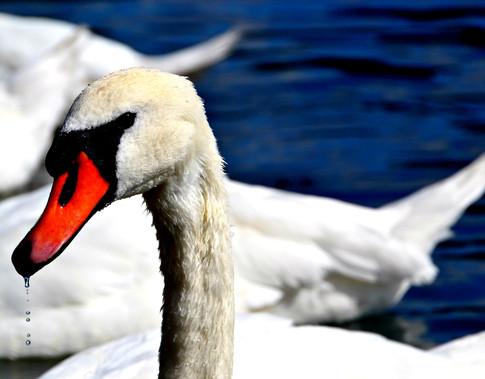 Swan+and+water.jpg