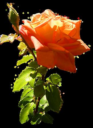 orange-rose-with-stem.png