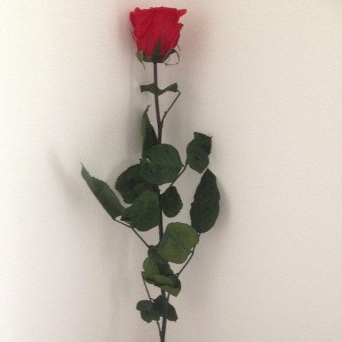 Single Long-Stemmed Preserved Red Rose