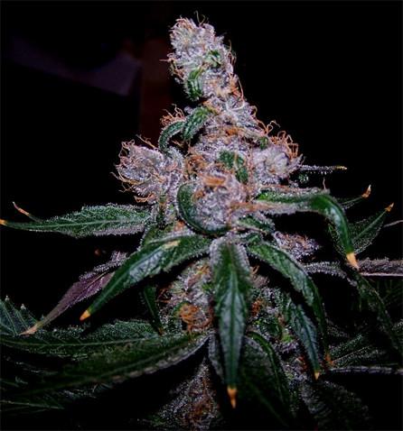 blueberry strain.jpg